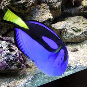 Blue tang is listed (or ranked) 22 on the list What Sea Creature Do You Want to Be?