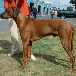 Rhodesian Ridgeback is listed (or ranked) 11 on the list The Best Dogs for Hiking