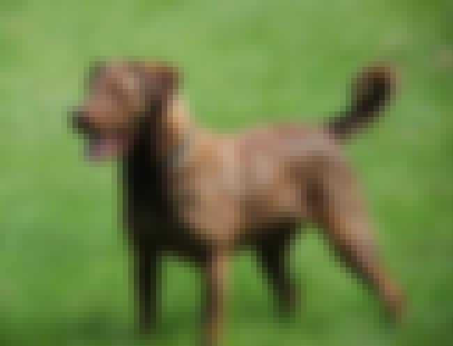 Chesapeake Bay Retriever is listed (or ranked) 3 on the list 25+ Happy Dog Breeds That Make Great Pets