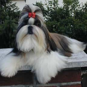 Shih Tzu is listed (or ranked) 11 on the list The Best Apartment Dogs