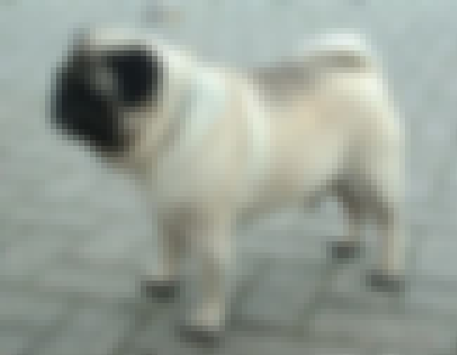 Pug is listed (or ranked) 1 on the list 10+ Clever Dog Breeds That Will Eventually Outsmart You