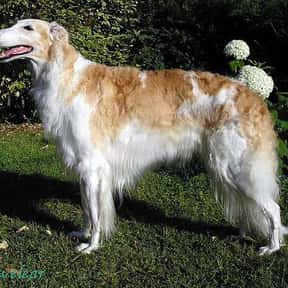 Borzoi is listed (or ranked) 17 on the list The Best Dogs for Hiking