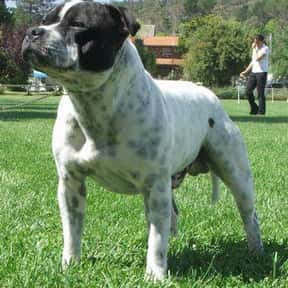 Staffordshire Bull Terrier is listed (or ranked) 16 on the list The Best Dogs for Men
