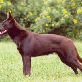 Australian Kelpie is listed (or ranked) 20 on the list The Best Dogs for Hiking