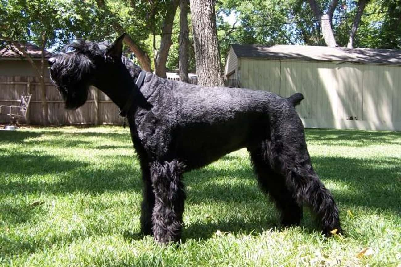 Giant Schnauzer is listed (or ranked) 3 on the list 10+ Dominant Dog Breeds That Might Clash With Your Pack