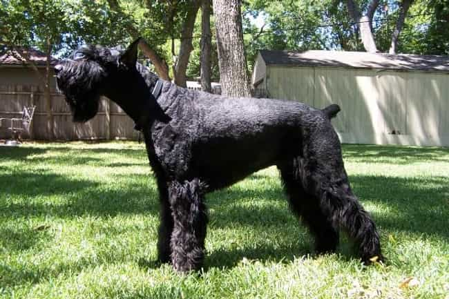 Giant Schnauzer is listed (or ranked) 4 on the list 10+ Dominant Dog Breeds That Might Clash With Your Pack