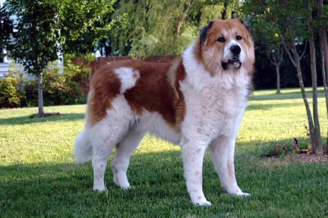 Caucasian Ovcharka is listed (or ranked) 3 on the list 10+ Dominant Dog Breeds That Might Clash With Your Pack
