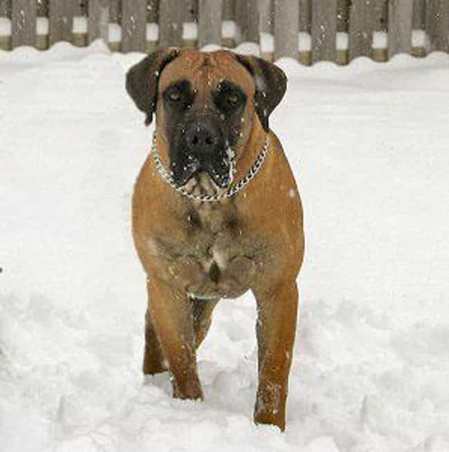 Boerboel is listed (or ranked) 1 on the list 10+ Dominant Dog Breeds That Might Clash With Your Pack