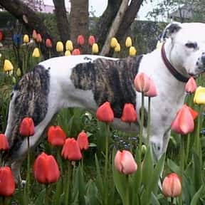 American Staffordshire Terrier is listed (or ranked) 15 on the list The Best Dogs for Protection