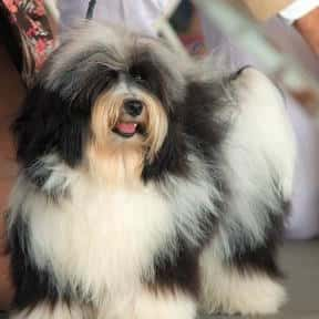 Havanese is listed (or ranked) 14 on the list The Best Apartment Dogs