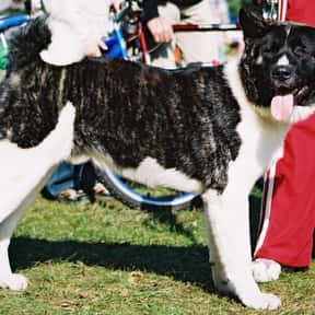 American Akita is listed (or ranked) 24 on the list The Best Dogs for Protection