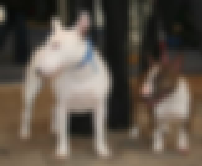 Bull Terrier (Miniature) is listed (or ranked) 1 on the list List of 25+ Stubborn Dog Breeds