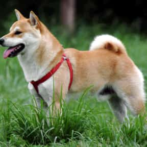 Shiba Inu is listed (or ranked) 24 on the list The Best Dogs for Men