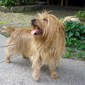 Australian Terrier is listed (or ranked) 25 on the list The Best Dogs for Seniors