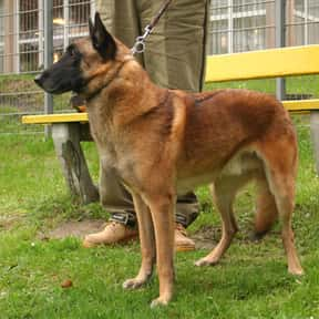 Belgian Shepherd Malinois is listed (or ranked) 5 on the list The Best Dogs for Protection