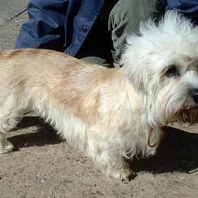 Dandie Dinmont Terrier is listed (or ranked) 24 on the list The Best Dogs for Seniors