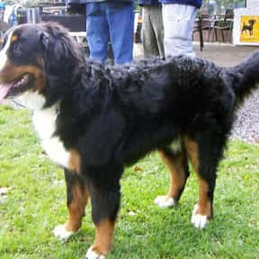 Bernese Mountain Dog is listed (or ranked) 16 on the list The Best Dogs for Hiking