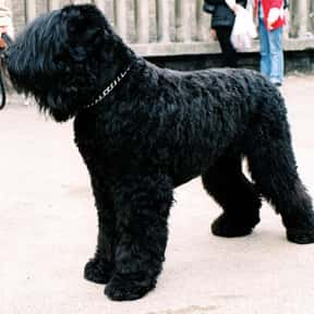 Black Russian Terrier is listed (or ranked) 13 on the list The Very Best Dog Breeds, Ranked