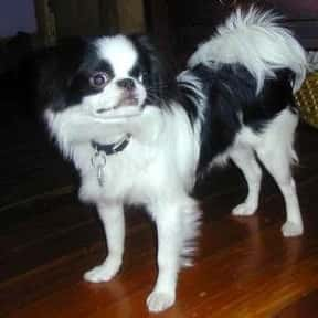 Japanese Chin is listed (or ranked) 18 on the list The Best Apartment Dogs