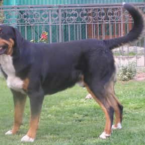 Greater Swiss Mountain Dog is listed (or ranked) 20 on the list The Best Guard Dogs for Families