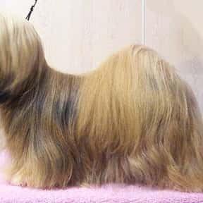 Lhasa Apso is listed (or ranked) 23 on the list The Best Dogs for Seniors