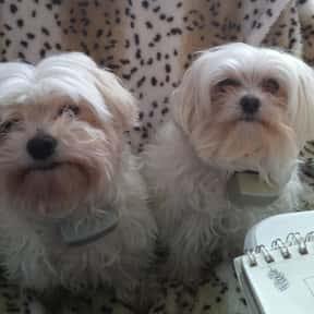 Maltese Dog is listed (or ranked) 12 on the list The Best Dogs for First-Time Owners