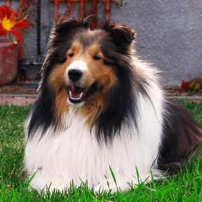 Shetland Sheepdog is listed (or ranked) 19 on the list The Very Best Dog Breeds, Ranked