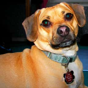 Puggle is listed (or ranked) 22 on the list The Best Dogs for First-Time Owners