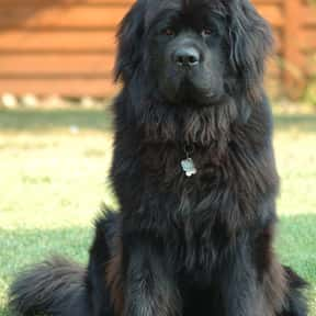 Newfoundland is listed (or ranked) 25 on the list The Best Guard Dogs for Families