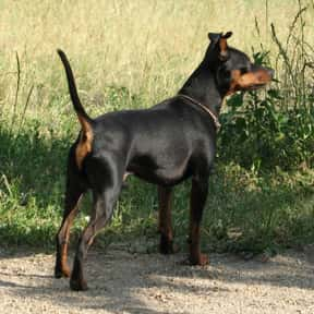 Miniature Pinscher is listed (or ranked) 25 on the list The Best Dogs for Men