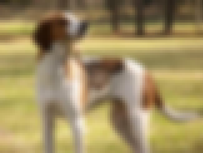 Treeing Walker Coonhound is listed (or ranked) 3 on the list 10+ Clever Dog Breeds That Will Eventually Outsmart You
