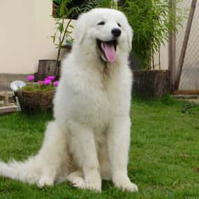 Kuvasz is listed (or ranked) 22 on the list The Best Dogs for Protection