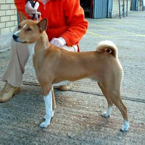 Basenji is listed (or ranked) 15 on the list The Best Dogs for Hiking