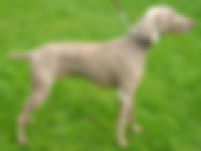 Weimaraner is listed (or ranked) 3 on the list List of 25+ Stubborn Dog Breeds