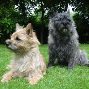 Cairn Terrier is listed (or ranked) 17 on the list The Best Dogs for Seniors