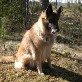 Tervuren is listed (or ranked) 19 on the list The Best Dogs for Protection