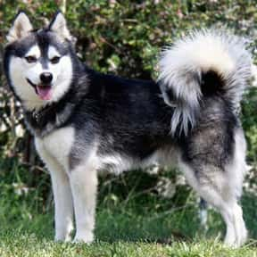 Alaskan Klee Kai is listed (or ranked) 22 on the list The Best Guard Dogs for Families