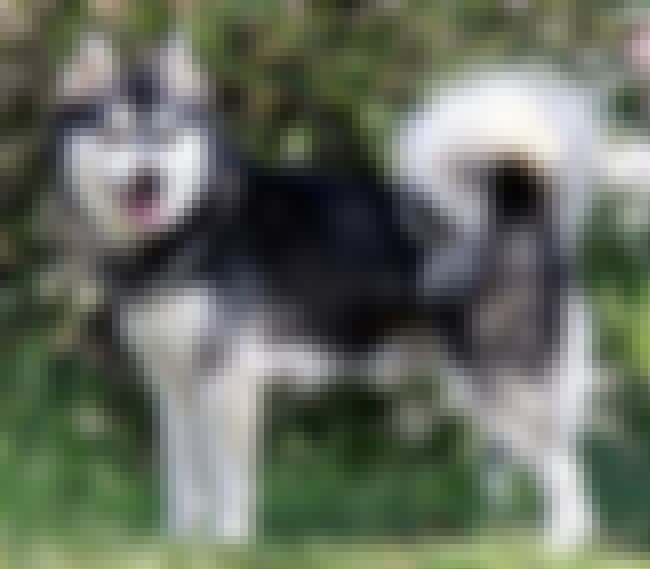 Alaskan Klee Kai is listed (or ranked) 3 on the list 10 Curious Dog Breeds That Make Great Pets