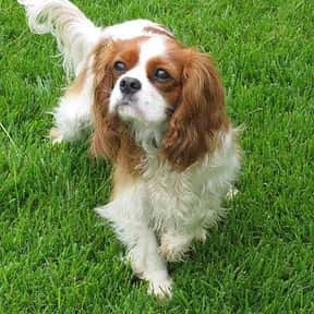 Cavalier King Charles Spaniel is listed (or ranked) 2 on the list The Best Apartment Dogs