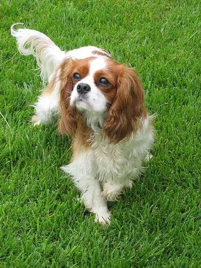 Cavalier King Charles Spaniel is listed (or ranked) 4 on the list The Best Apartment Dogs for City Living