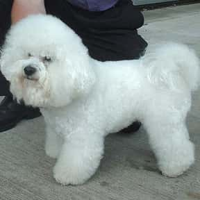 Bichon Frisé is listed (or ranked) 6 on the list The Best Dogs for Seniors