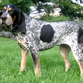 Bluetick Coonhound is listed (or ranked) 6 on the list The Best Dogs for Hiking