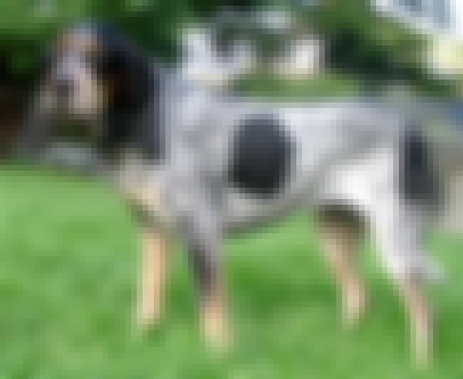 Bluetick Coonhound is listed (or ranked) 1 on the list The Best Dog Breeds