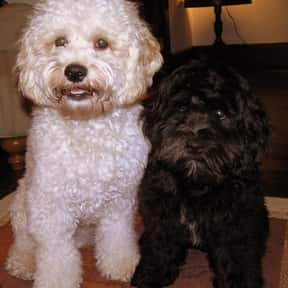 Cockapoo is listed (or ranked) 17 on the list The Best Apartment Dogs