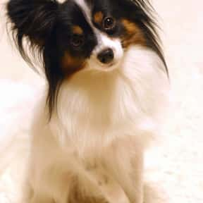 Papillon is listed (or ranked) 13 on the list The Best Dogs for First-Time Owners