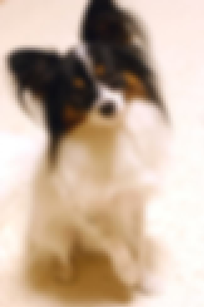 Papillon is listed (or ranked) 3 on the list 25+ Happy Dog Breeds That Make Great Pets