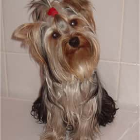 Yorkshire Terrier is listed (or ranked) 10 on the list The Best Apartment Dogs