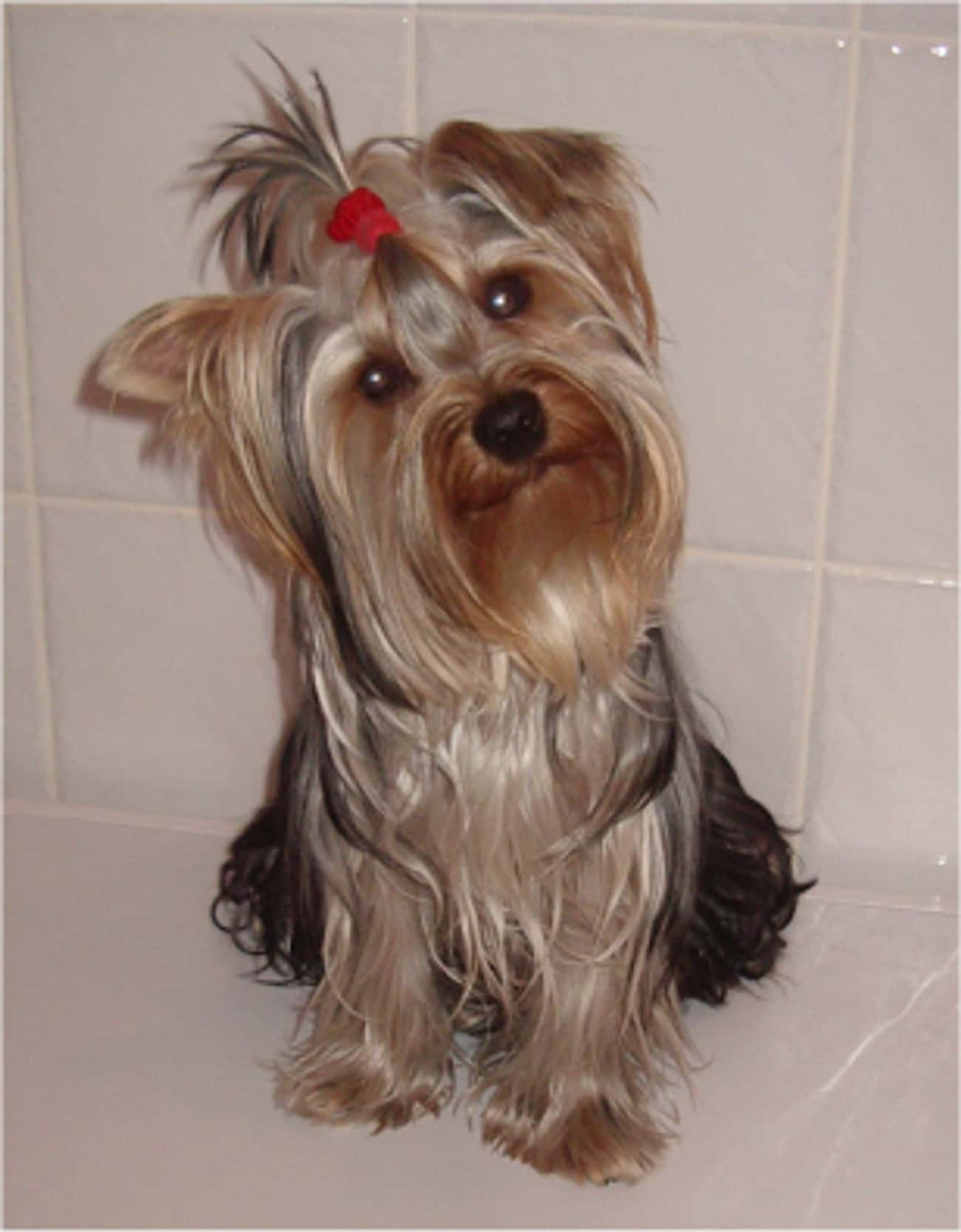 Yorkshire Terrier is listed (or ranked) 4 on the list The Best Apartment Dogs for City Living
