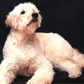 Goldendoodle is listed (or ranked) 11 on the list The Best Dogs for First-Time Owners
