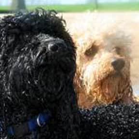 Labradoodle is listed (or ranked) 14 on the list The Best Dogs for First-Time Owners